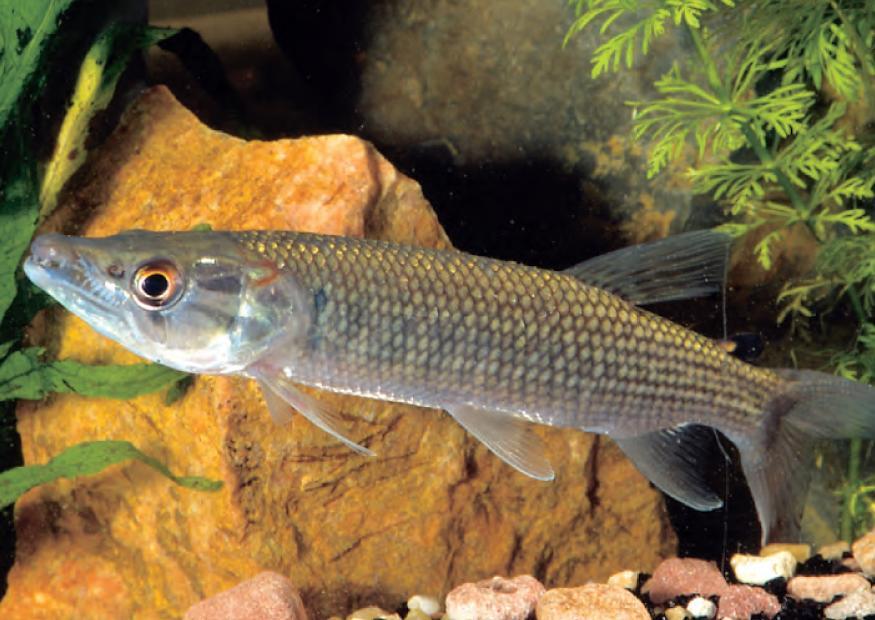 Hepsetus odoe ein hecht f r das aquarium for Fische gartenteich arten