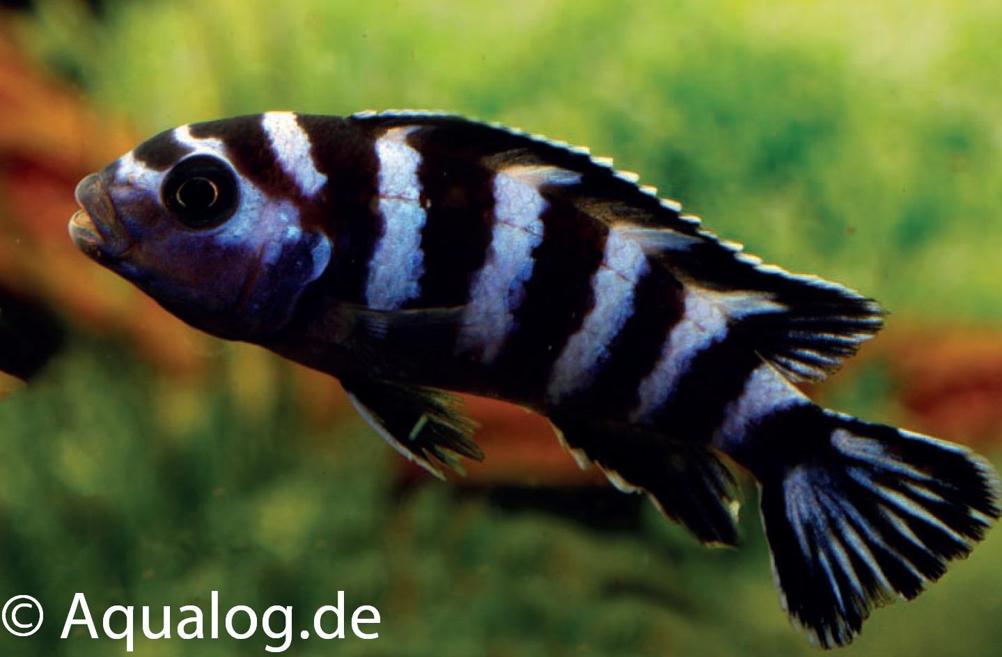 Pseudotropheus demsasoni
