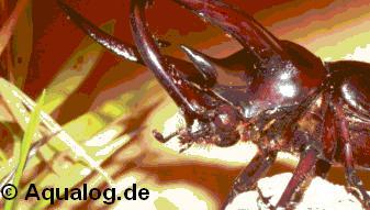 Dreihornkäfer-2