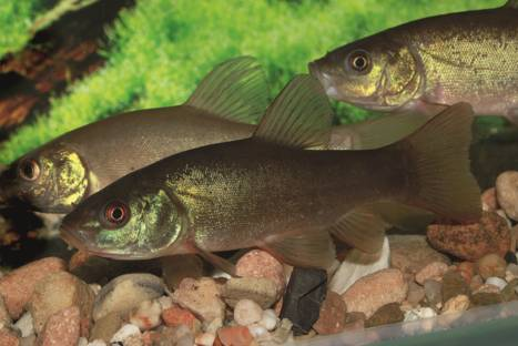 Die schleie m rchen und wahrheiten for Gartenteichfische arten