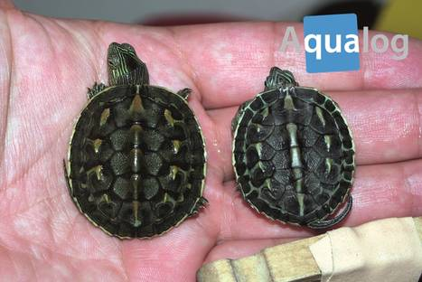 the_chinese_striped_neck_turtle_2