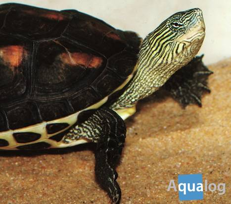 the_chinese_striped_neck_turtle_3