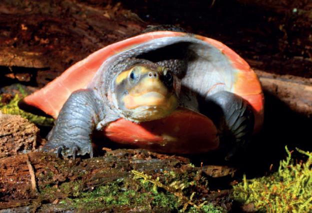 Spitzkopfschildkröte