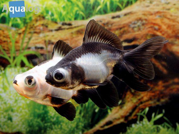 Goldige fische schwimmende juwelen for Fische in teichen