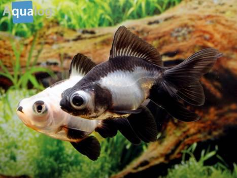 Goldige fische schwimmende juwelen for Gartenteich ohne fische