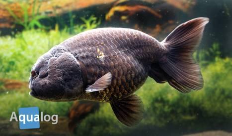 Goldige fische schwimmende juwelen for Teichfische arten