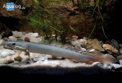 Geisterfisch-3