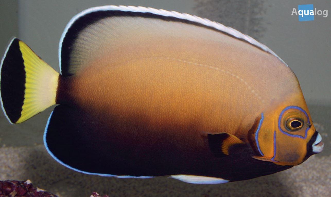 Chaetodontoplus conspicillatus