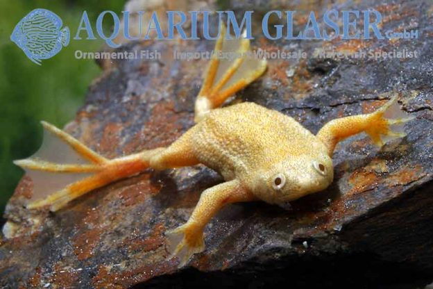 Hymenochirus boettgeri Gold-Albino