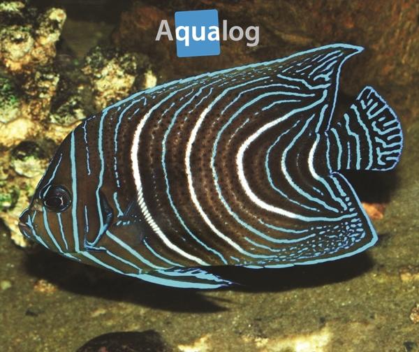 pomacanthus semicirc