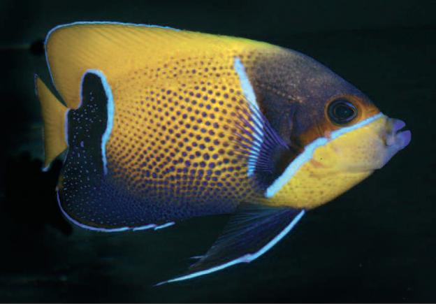 Kaiserfisch