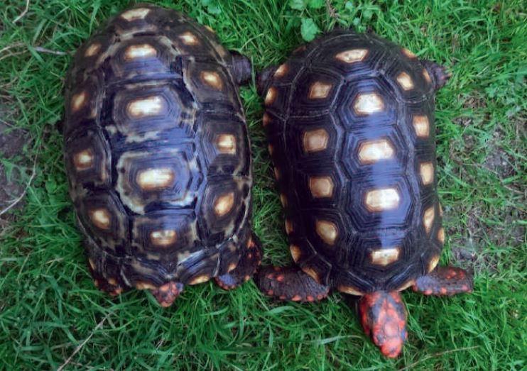 Koehlerschildkröte