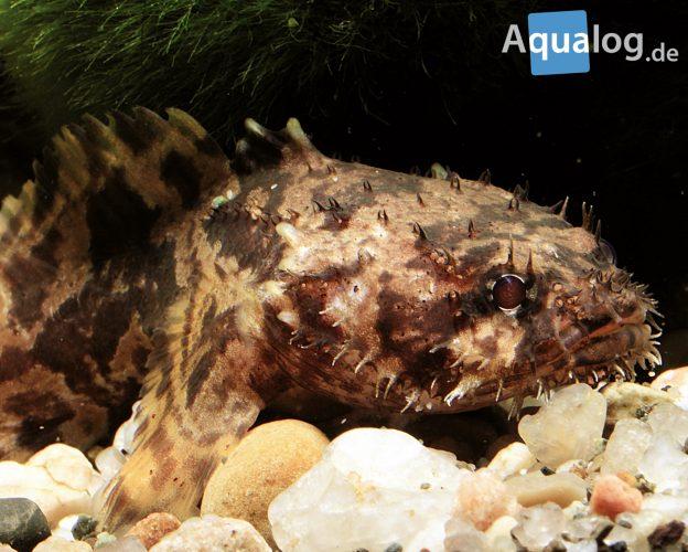 Allenbatrachus-grunniens