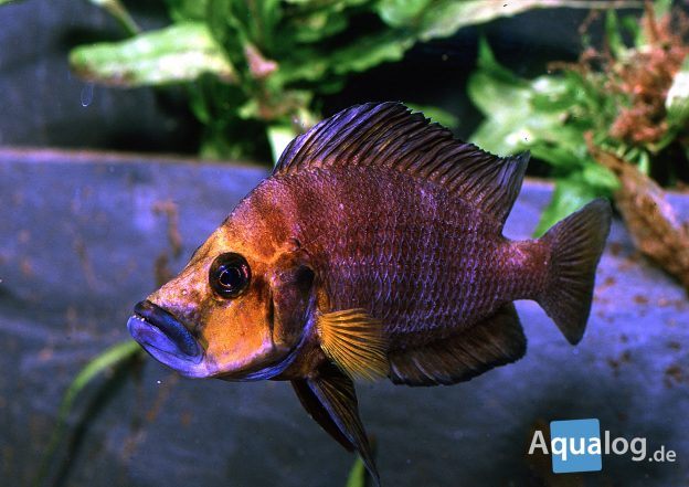 Altolamprologus-compressiceps-Goldhead