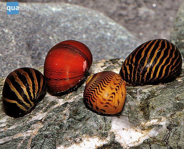 Neritina-sp-Timor