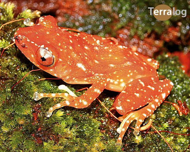 Nyctixalus-pictus-katzenaugenfrosch