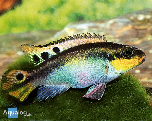 Pelvicachromis-taeinatus-nigeria-red-frau