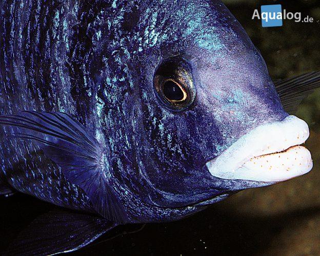 Placidochromis-phenochilus-malawi-mdoka