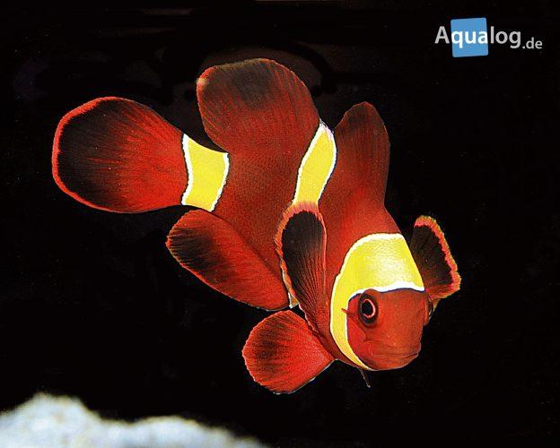 Premnas-biaculeatus-sumatra