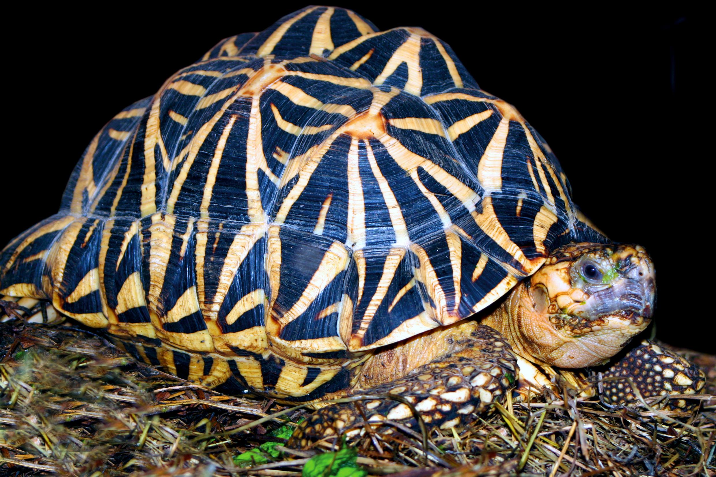 Indische Sternschildkröte
