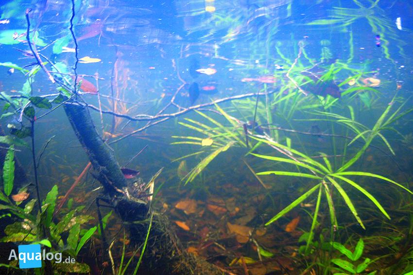 Eine schöne Impression für ein Biotopaquarium: Unterwasser-Aufnahme aus dem Einzug des Rio Negro.