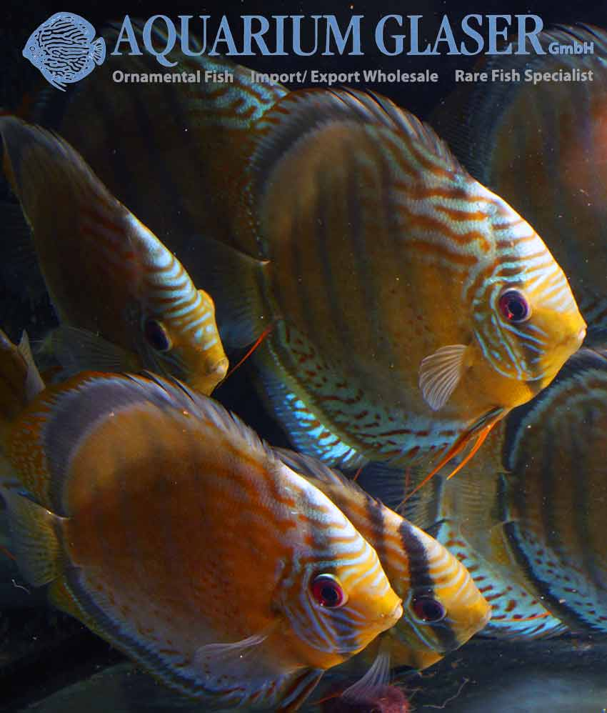 Freshwater aquarium fish documentary - Despite Extremly High Water Levels Four Meter Over The Normal Level Of The Season The First Wild Collected Discus Of The New Season Came In