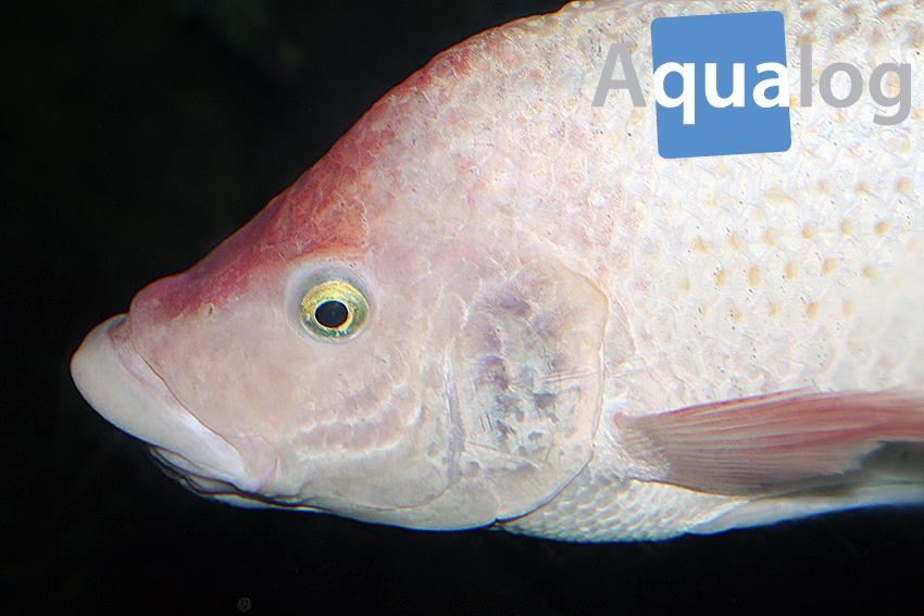 Oreochromis urolepis Portrait
