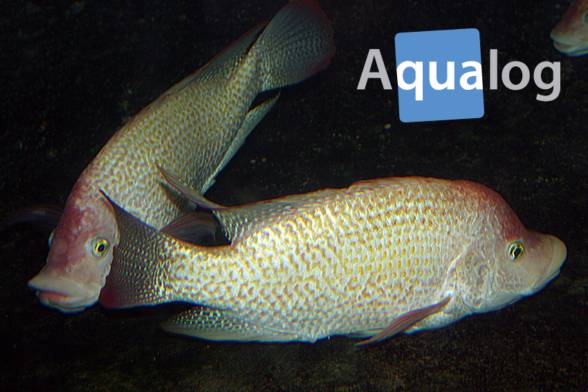 Zwei Männchen von Oreochromis urolepis