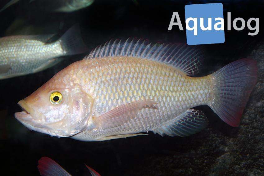 Oreochromis urolepis Weibchen