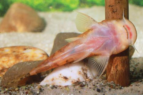 Stargazer catfish