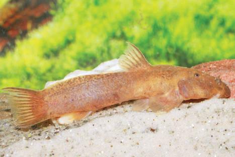 Stargazer catfishes