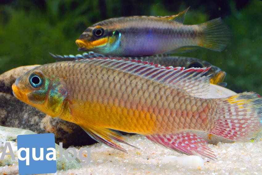 """Pärchen der Art Pelvicachromis kribensis """"Bipindi"""" aus Kamerun"""