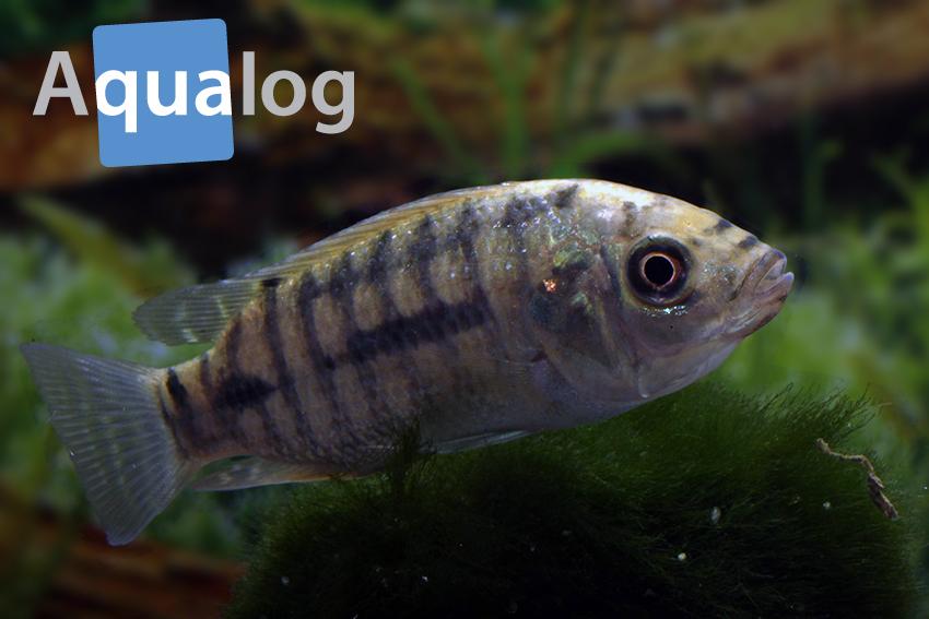 """""""Tilapien"""" sind mittlerweile weltweit verbreitet. Dies ist ein Oreochromis-Jungtier aus Paraguay."""