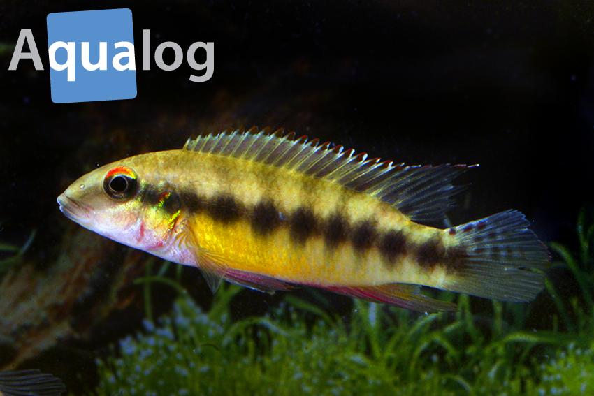 """Bis vor Kurzem zählten auch die Arten der humilis-Gruppe zu Pelvicachromis, jetzt wurde eine neue Gattung für sie aufgestellt. Dies ist Wallaceochromis humilis """"Sierra Leone"""""""