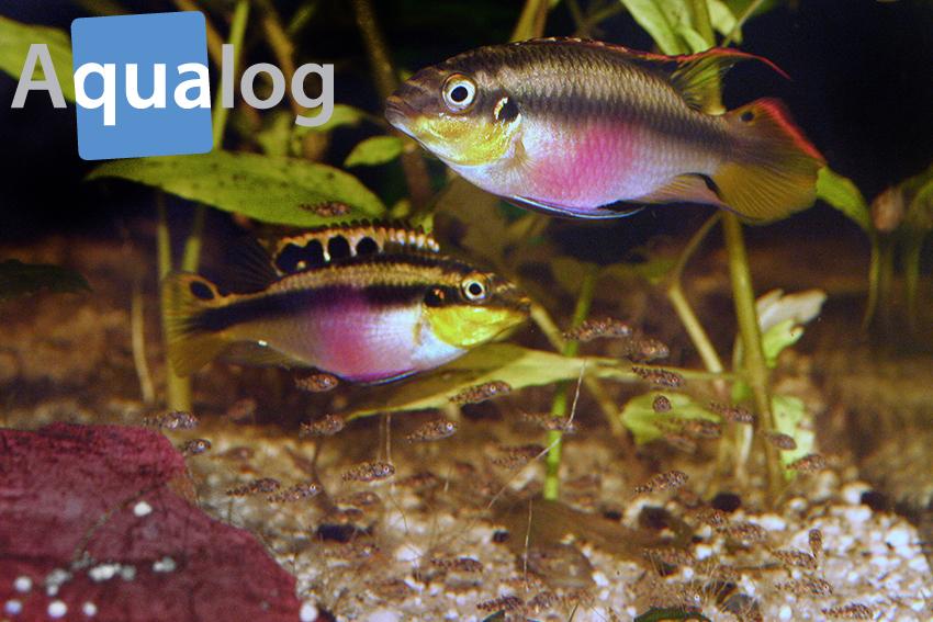 pelvicachromis pulcher mit jungen