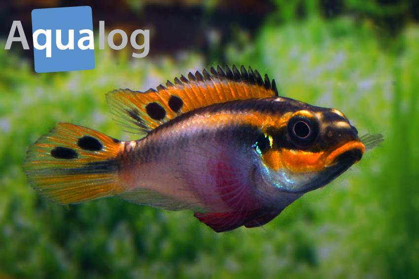 pelvicachromis taeniatus nigeria red frau2