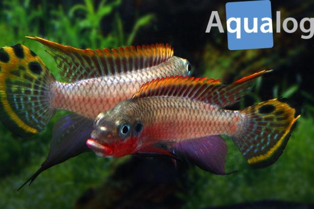 """Kämpfende Männchen von Pelvicachromis taeniatus """"Nigeria Red"""""""