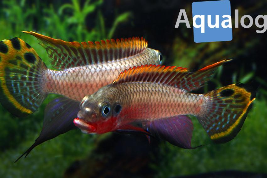 Pelvicachromis taeniatus - Nigeria-red