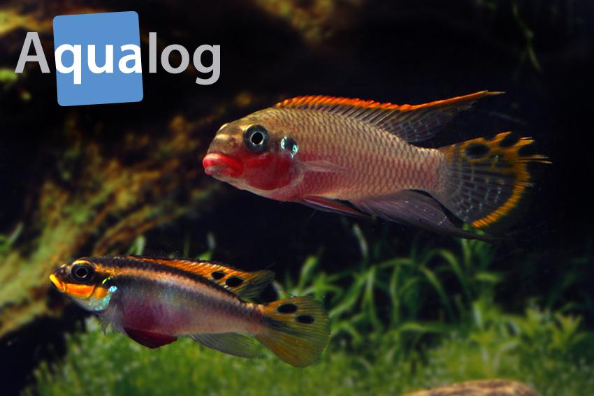 """Pärchen der Farbvariante """"Nigeria Red"""" von Pelvicachromis taeniatus"""