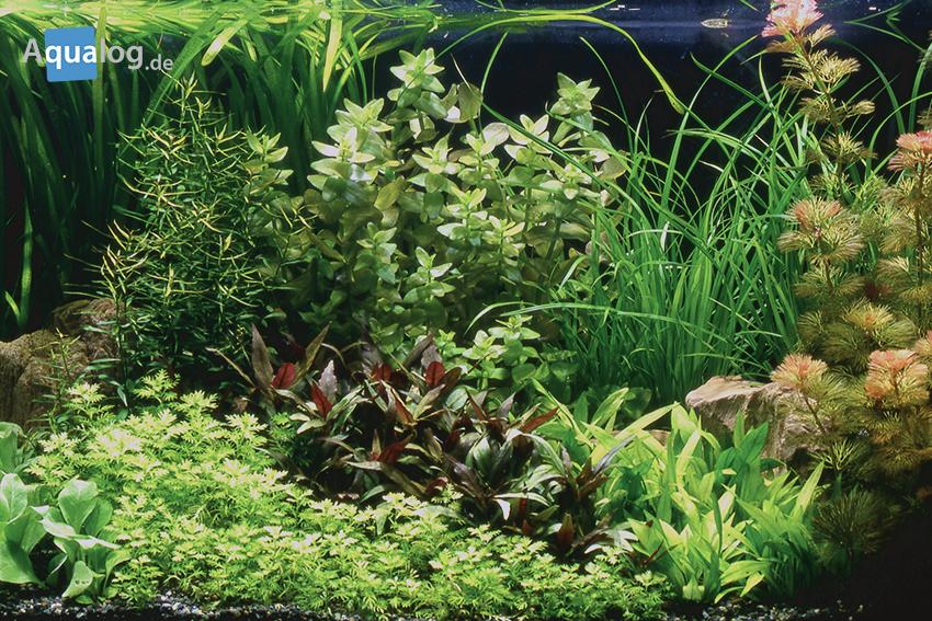 Ein schön eingerichtetes Pflanzenaquarium. Ein Biotopaquarium ist das aber nicht!