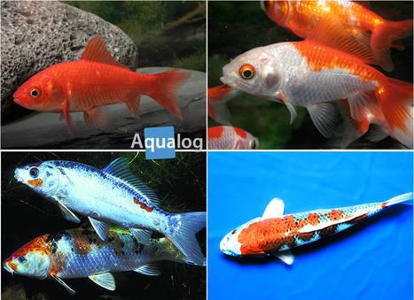 Steckbrief: Goldfische und Koi