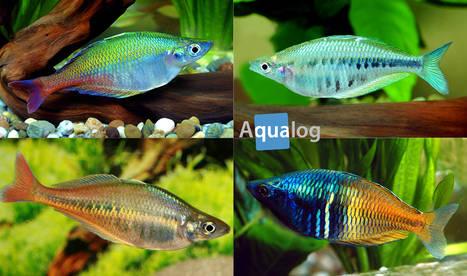 Steckbrief: Regenbogenfische