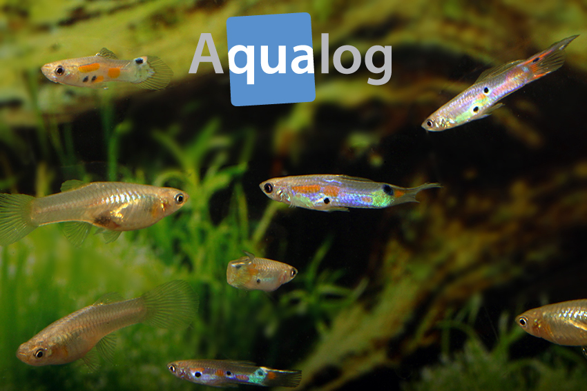 warmbachguppy gruppe