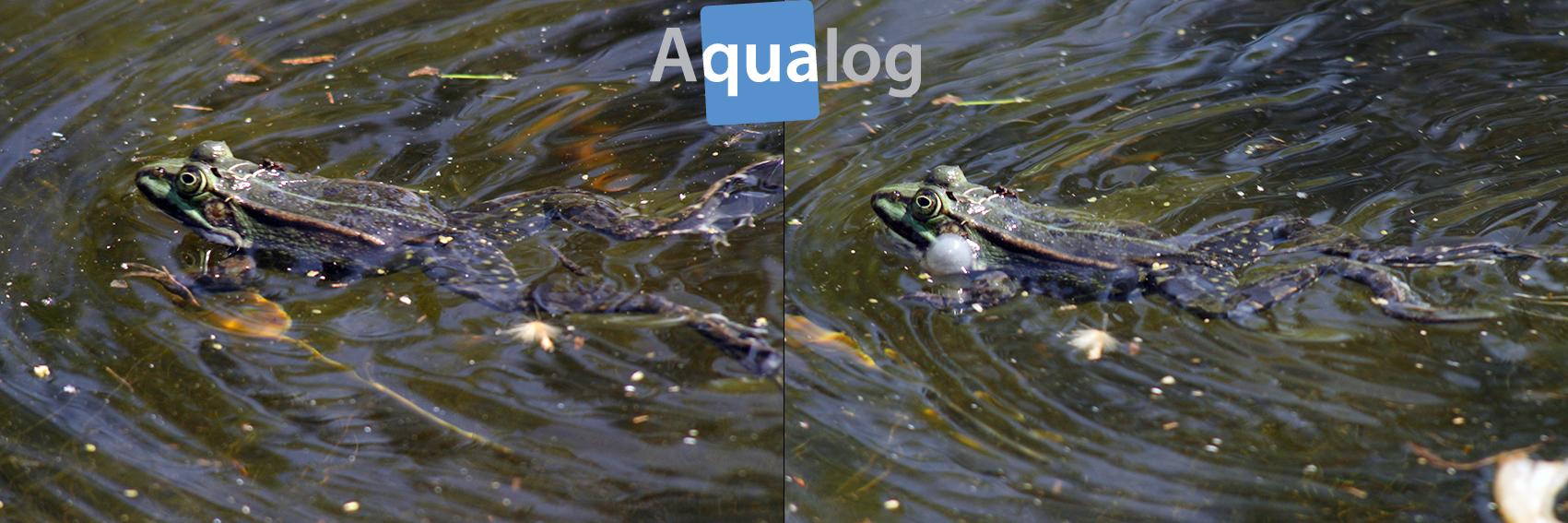 Wasserfrosch Schwimmruf