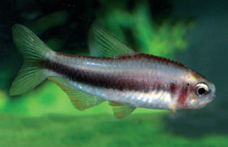 This as yet scientifically undetermined fish from Brazil (imported by Aquarium Glaser in 2009) is undoubtedly very closely related to the emperor tetras.