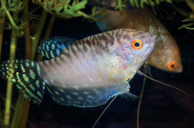 opal-fadenfisch