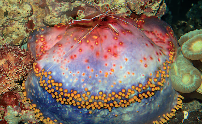 Pseudocolochirus are also known as sea apples. They seek out quiet spots for themselves in the aquarium.