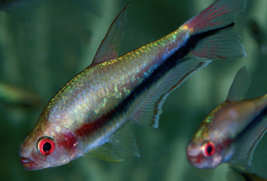 The Rainbow Tetra, Nematobrycon lacortei, is best distinguished from N. palmeri by its red eyes.