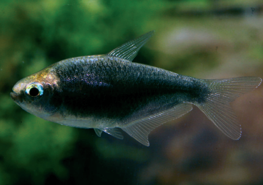 Female of the black form of the Emperor Tetra.