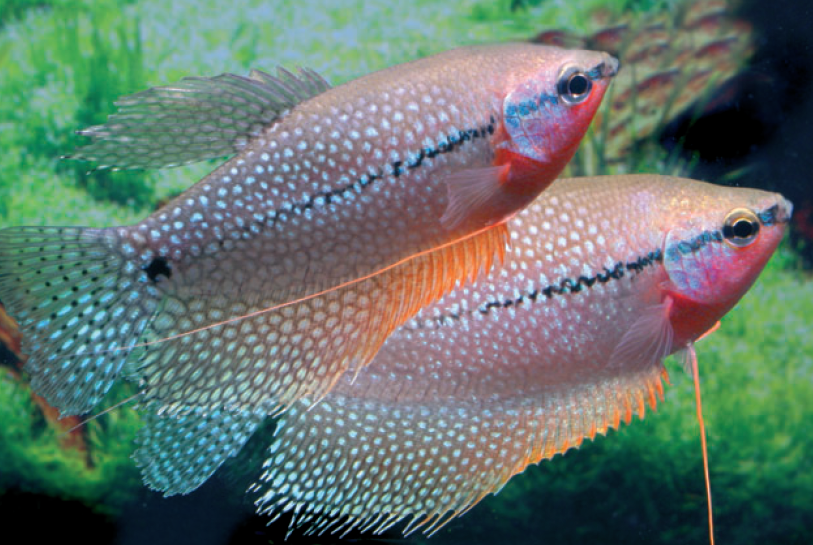 zwei-maenchen-mosaikfadenfisch